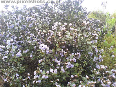 rare flowers in kerala,neelakurinji flower blooms only once in 12 years,main attraction of kerala tourism,rare violet flowers,kerala flower photos