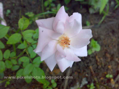 white rose flower photograph from home gardens