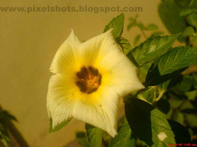 simple yellow rose flower from the gardens,flower photo photographed in closeup mode of digital camera