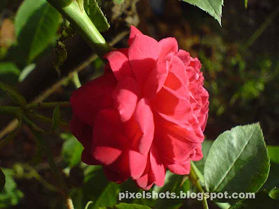rose,red rose photo,red rose flower,photographs of roses