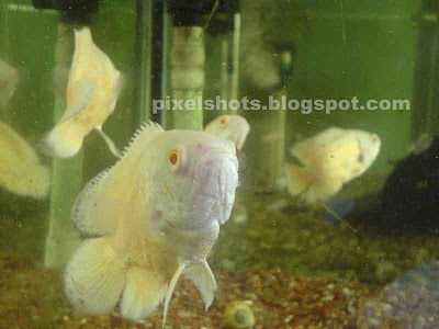 pink-oscar aquarium-fishes,oscars,fish-closeup-photo,aquariums-cochin-kerala