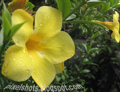 allamanda-flowers-kerala,american-flowers,tropical-flowering-plants,yellow-mellow,yellow-golden-trumpet-flowers