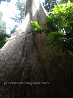 big trees in kerala forests,tree beside forest river,huge trees with fruits and flowers
