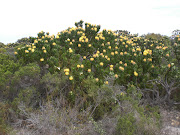 PROTEAS GROW WILD
