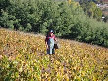 campesino cosechando uva