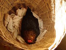 gallina descansando en un canasto