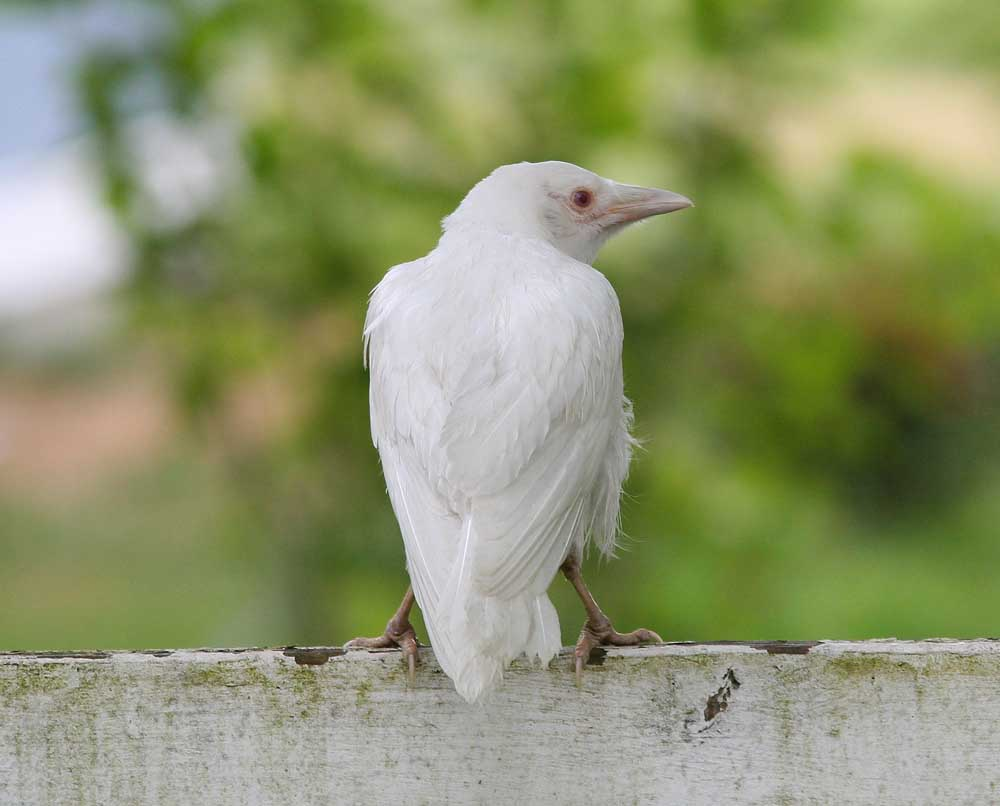 Albino crow - photo#1