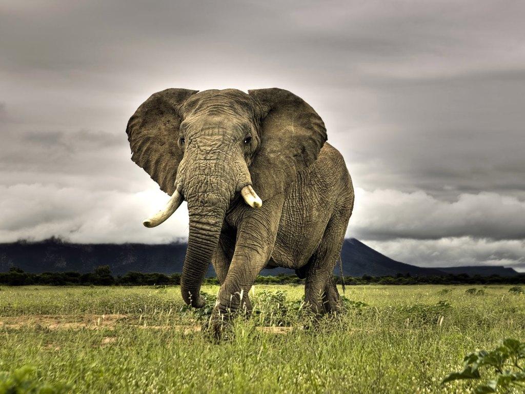 The African Bush Eleph...