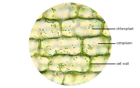 Leaf Cell Diagram http://p3sts1011.blogspot.com/2010_10_01_archive.html
