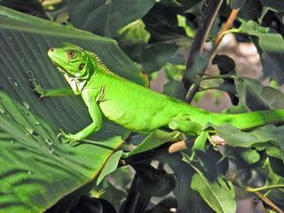 Reptilia mania - Giant Green Iguana