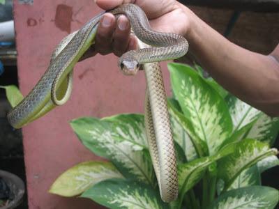 reptilia mania snake- Ptyas korros snake, Snake not venomous