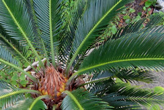 Backyard Sago Palm