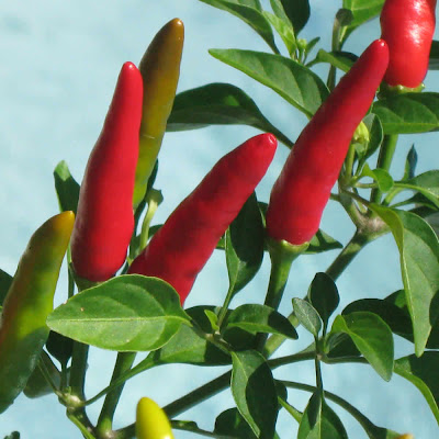 Hot peppers by the pool