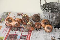 onions from schoolgarden