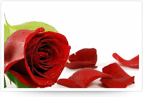 Peach rose symbolises