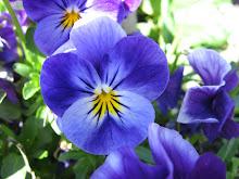 Blyg viol