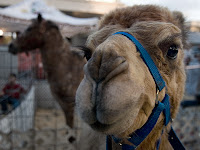 Click for larger image of Sally the camel