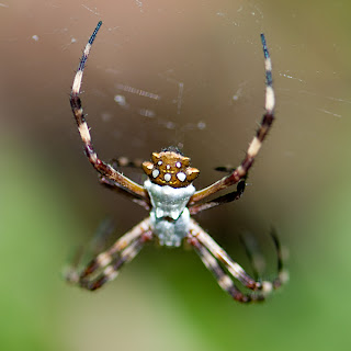 Click for Larger Image of Silver Argiope