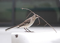 Click for Larger Image of Mockingbird