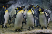Click for Larger Image of King Penguins