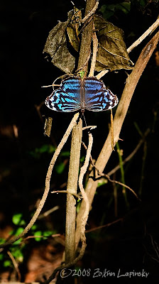 Click for Larger Image of MexicanBluewing Myscelia ethusa