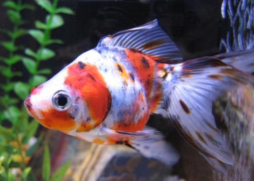 Acuarios neptuno gold fish calico for Carpas koi cuidados