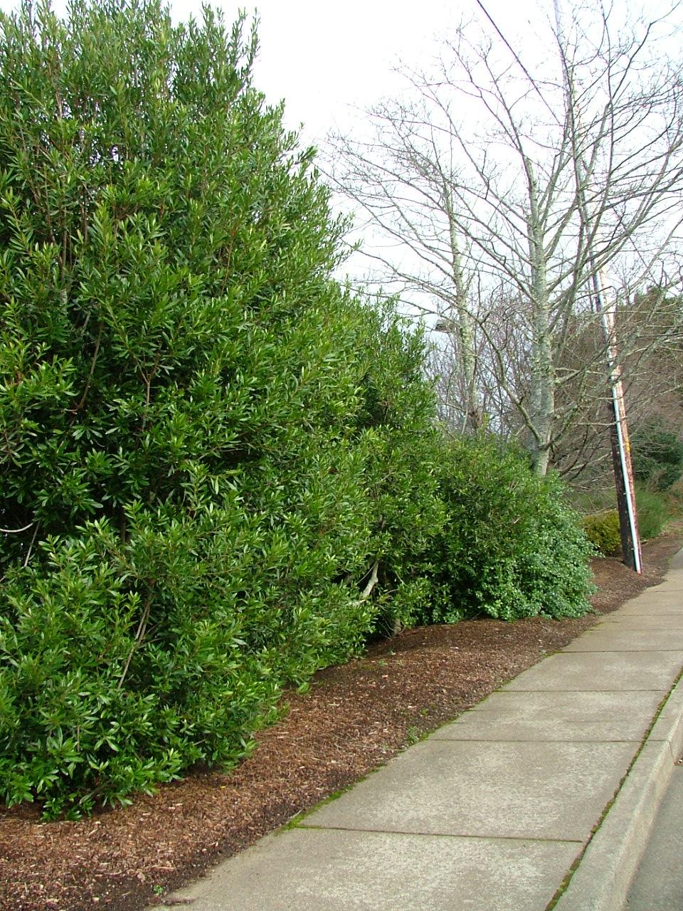 Oregon Coast Gardener Coastal Landscape Planning Hedges