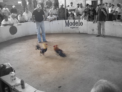 Hahnenkampf, pelea de gallos, cockfight Mexico