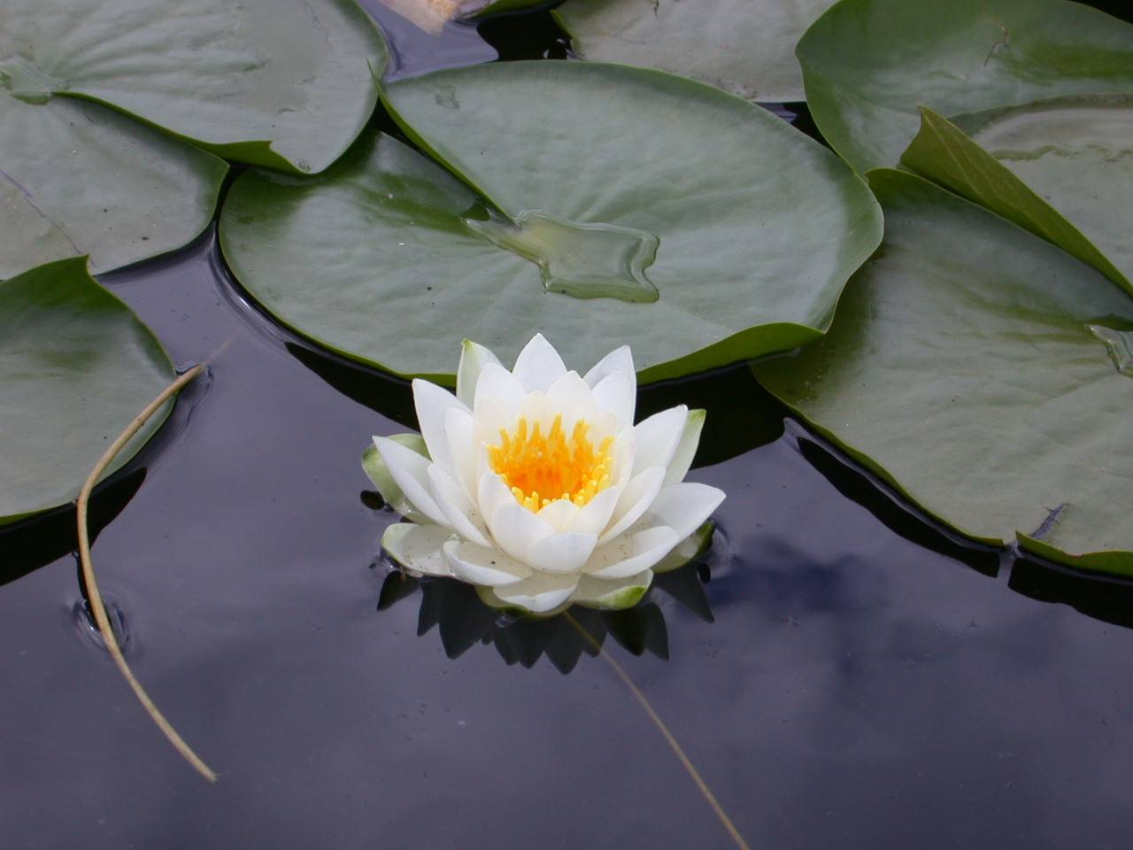 Media lotus flower wallpapers high quality and wide screen lotus flower wallpapers high quality and wide screen izmirmasajfo