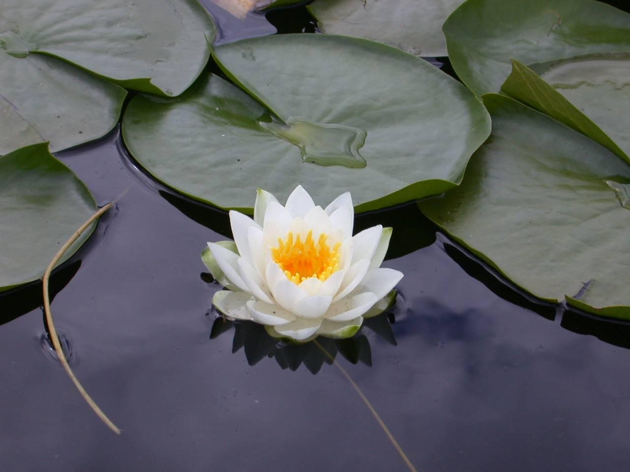 http://3.bp.blogspot.com/_RU4fdNmsPuo/S8_j7rkjwvI/AAAAAAAABeY/TYWtGpHnrjI/s1600/white%2520lotus%2520flower.jpg