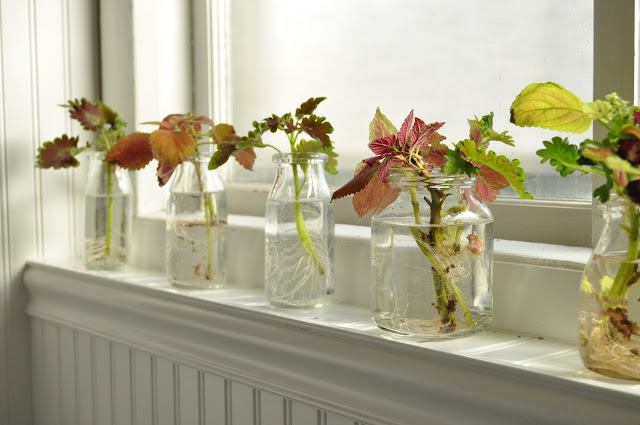 Coleus getting it's water roots on a window sill