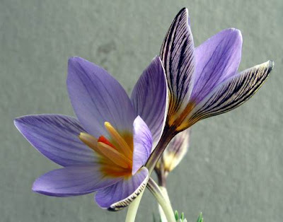 Crocus biflorus isauricus photo by Ian Young