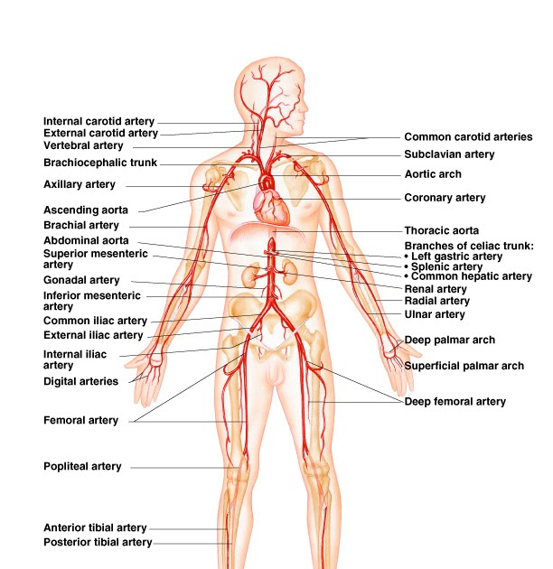 What\'s HAPpening?!: Major Arteries