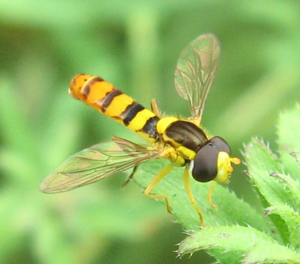 Syrphid flies a k a hover flies or flower flies form a large family Many  are boldly striped. Yellow And Black Fly   creatopliste com