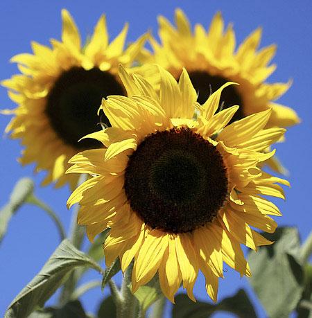 terraria how to break sunflowers