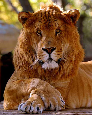 Ligers And Tigons Difference Tigons have a lion mother and