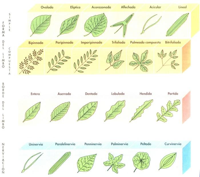 clasificacion de las hojitas de las plantas
