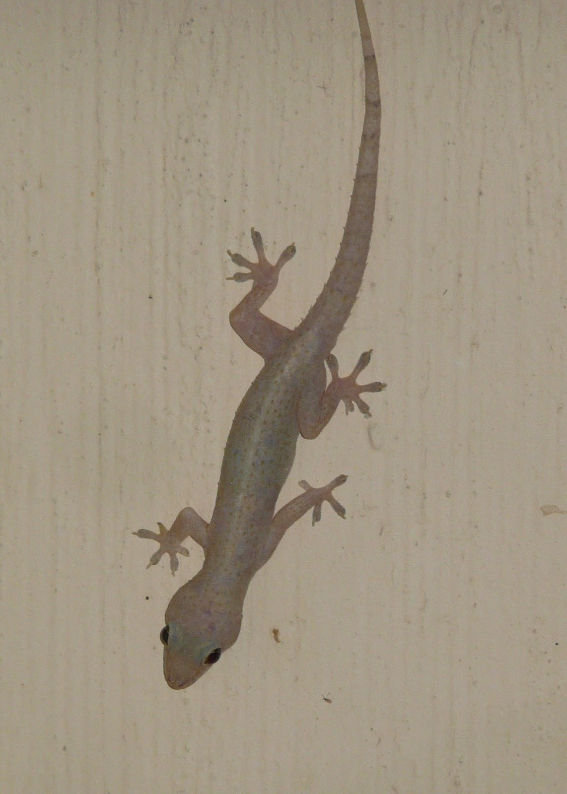 florida house gecko images - reverse search