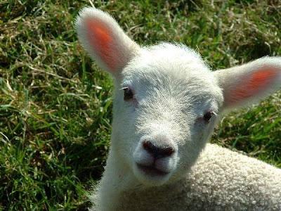 H εκδρομικη μας ατζεντα!! - Σελίδα 20 Lamb