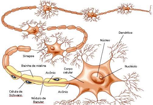 Estudo diz que dietas fazem células do cérebro se canibalizarem Neuronio