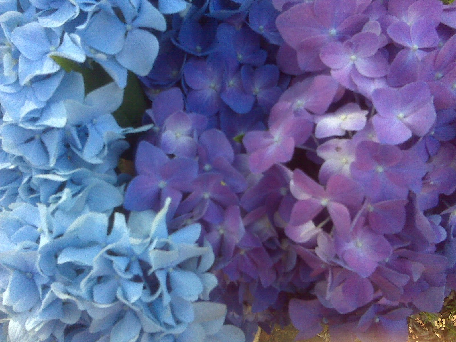 Still thinking on wedding flowers missesawesome hydrangeas come in both purple and blue and are much less expensive than peoniesey are very plush looking in bouquets izmirmasajfo