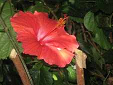A hibiscus in the tropical area at the aquarium