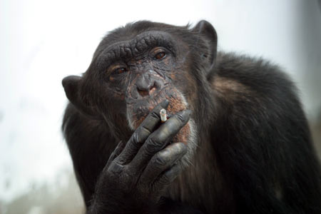 yep gorilla smoking