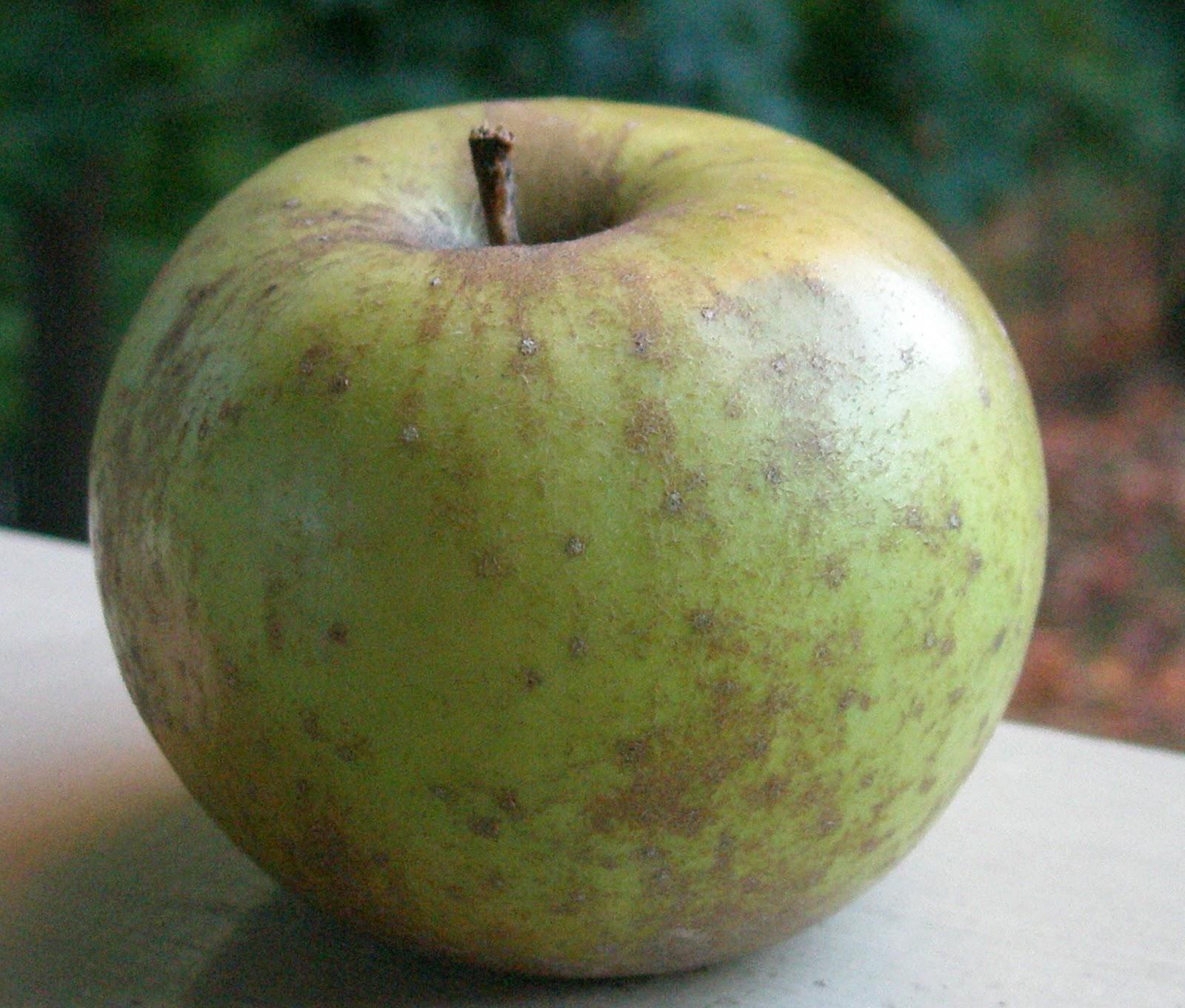 a life of apples roxbury russet