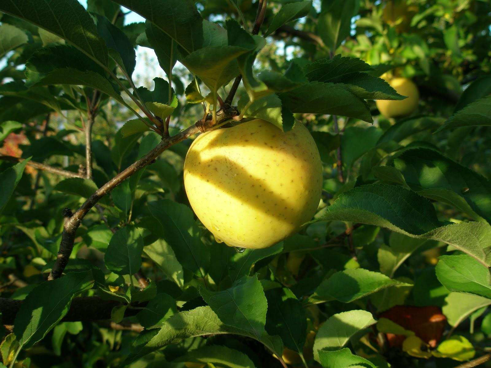 A LIFE OF APPLES: The Golden Apple Part III a.k.a. Goldrush
