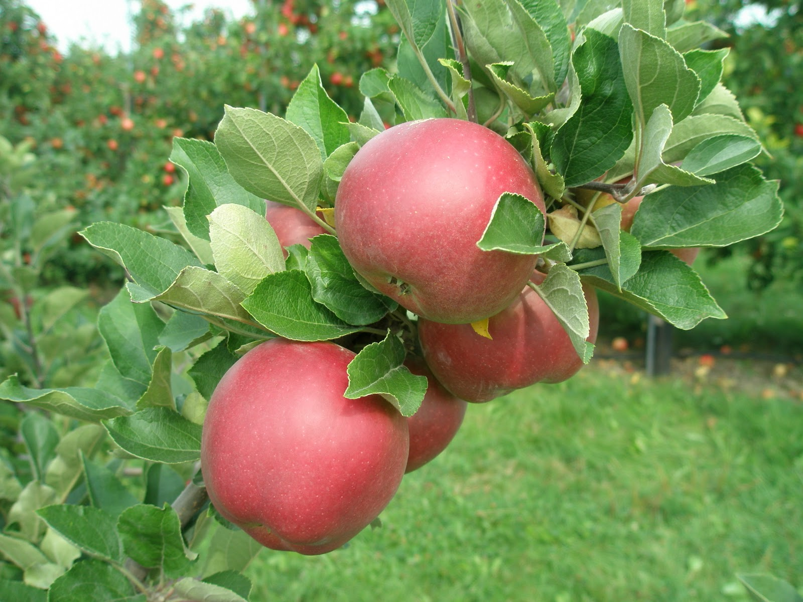 a life of apples story of an apple arkansas black
