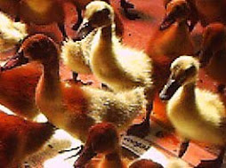 Duckling - 2nd Batch