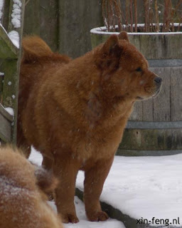 smooth Chow Chow Chimay