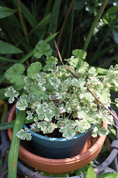 Scented Geranium