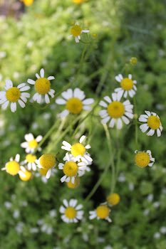 CHAMOMILE FOR TEA